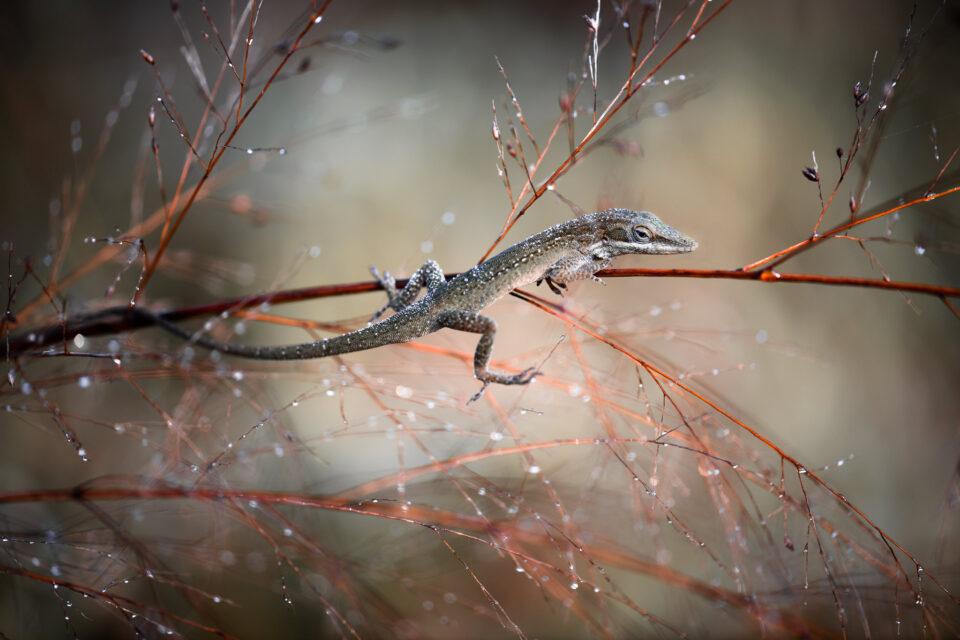 Brown-Anole-960x640